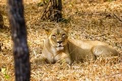 Zagrożoni gatunki Asiatic lew Fotografia Stock