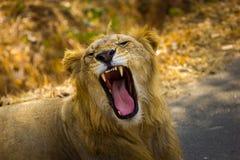 Zagrożoni gatunki Asiatic lew Obrazy Stock