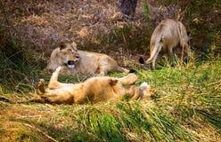 Zagrożoni gatunki Asiatic lew Zdjęcia Stock
