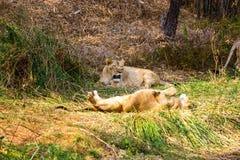 Zagrożoni gatunki Asiatic lew Zdjęcie Stock
