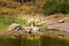 Zagrożoni gatunki Asiatic lew Fotografia Royalty Free