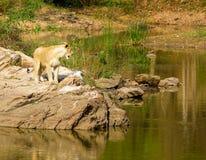 Zagrożoni gatunki Asiatic lew Zdjęcia Royalty Free