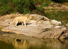 Zagrożoni gatunki Asiatic lew Obrazy Royalty Free