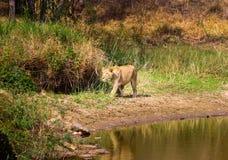 Zagrożoni gatunki Asiatic lew Obraz Royalty Free
