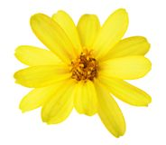 Zahara zinnia Royalty Free Stock Photos