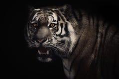Zahipnotyzowany tygrys fotografia royalty free