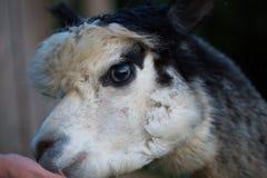 Zahmes Alpaka kann von der Hand eingezogen werden stockfoto