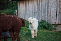 Zahmes Alpaka kann von der Hand eingezogen werden lizenzfreies stockbild