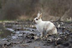 Zahmes wildes Kaninchen sitzt auf Ackerland nahe Bauernhof Stockfoto