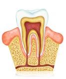 Zahnmedizinische Anatomie Stockfotografie