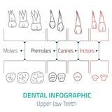 Zahnmedizinischer infographic Vektor Lizenzfreie Stockfotos