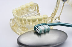 Zahnmedizinisches Baumuster Lizenzfreie Stockbilder