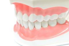 Zahnmedizinisches Baumuster der Zähne stockfoto