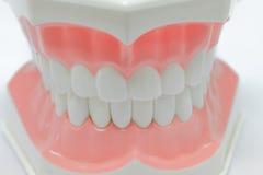 Zahnmedizinisches Baumuster der Zähne stockfotos