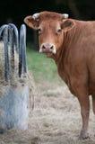 Zahnstangenkuh und neugierige Kuh Stockfoto