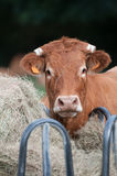 Zahnstangenkuh und neugierige Kuh (Nahaufnahmeansicht) Lizenzfreie Stockfotografie