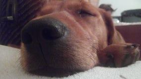 Zahra, щенок Стоковое Изображение RF