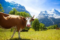 Zainteresowana krowa Obrazy Royalty Free