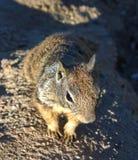 Zainteresowana wiewiórka Zamknięta W górę obraz stock