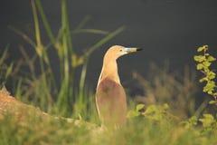 Zainteresowany ptak, czapla patrzeje it& x27; s strona ciekawie Bardzo dobra patrzeje, piękna postawa właśnie za trawą, i zdjęcie royalty free