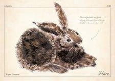 Zając, królik odizolowywał wektor Zając, królik odizolowywał wektorową ilustrację dla książki, karta, artykuły Olej malująca brąz ilustracja wektor
