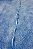 Zając ślada w śniegu Zdjęcia Stock