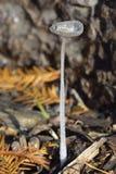 Zajęczego ` nakrętki sfoot grzyb Fotografia Stock