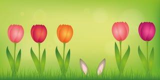 Zajęczy ucho chują w gazonie między kolorowymi tulipanami na zielonym wiosny tle ilustracja wektor