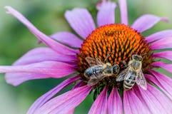 zajęty pszczół Fotografia Royalty Free