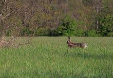 Zajęczy bieg w trawie Zdjęcie Royalty Free