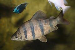 zakazująca distichodus ryba sześć zdjęcie royalty free