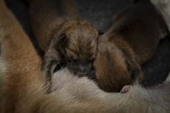 Zakończenie Nowonarodzony Shiba Inu szczeniak Japończyka Shiba Inu pies Piękny shiba inu szczeniaka koloru brąz i mama 1 dzień st obrazy stock