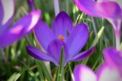 Zakończenie strzał purpurowy krokus między zielonymi liśćmi zdjęcia stock