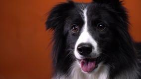 Zakończenie w górę Border collie psa z pięknymi oczami, pomarańczowy tło zdjęcie wideo