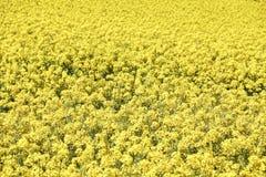 Zakończenie w górę widoku pole jaskrawi żółci kwiaty Rapeseed Brassica napus fotografia stock