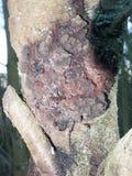 zakończenie w górę wielkiego grzybowego głazu na drzewa gnicia podgniłej chorobie fotografia stock