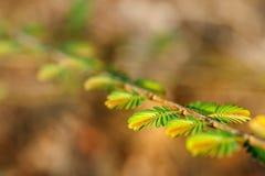Zakończeń zieleni potomstwa opuszczają w wiosna ranku na gałązce na rozmytym tle Fotografia Royalty Free