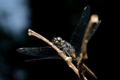 Zakończenia Dragonfly Zdjęcia Stock