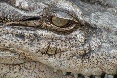 Zakończenia oko krokodyl obrazy royalty free