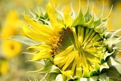 Zakończenia pollen słonecznik Obrazy Royalty Free