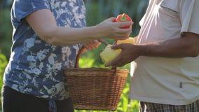 Zakończenia A rodzina rolnicy zbiera uprawy Bułgarski pieprz Mężczyzna trzyma dojrzałych soczystych warzywa w jego rękach A zbiory
