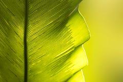 Zakończenia ` s up zielonego Ptasiego gniazdeczka liścia natury abstrakta paprociowy tło obraz stock