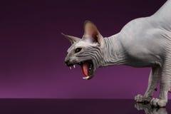 Zakończenia Sphynx Agresywny kot Syczy na purpurach fotografia stock