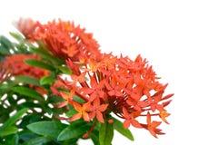 Zakończenia spojrzenie wiązka w pełni kwitnący czerwony ixora - Odizolowywający z białym tłem Zdjęcie Stock