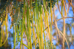 Zakończenia up koloru żółtego i zieleni ziarna strąki Agasta, Sesban, warzywo Zdjęcie Stock