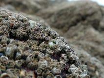 Zakończenia up/Makro- pąkle na skałach z płytką głębią pole fotografia stock