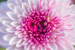 zakończenia up menchii kwiatu tła kwiatu abstrakta abstrakcjonistyczny backgr Zdjęcia Stock