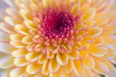 zakończenia up menchii kwiatu tła kwiatu abstrakta abstrakcjonistyczny backgr Obraz Royalty Free