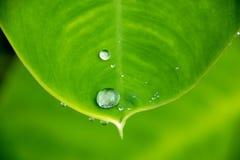 Zakończenia up wody deszczu kropla na zielonym liściu dla natury tekstury tła Obraz Royalty Free