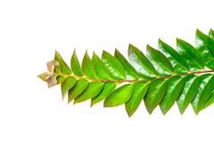 Zakończenia up zieleni gwiazdowi agrestowi liście odizolowywający na białym tle Fotografia Stock